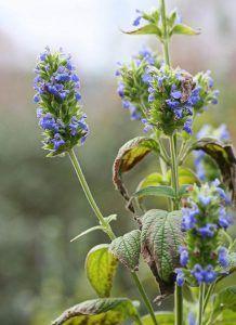 semillas de chía - planta salvia hispanica