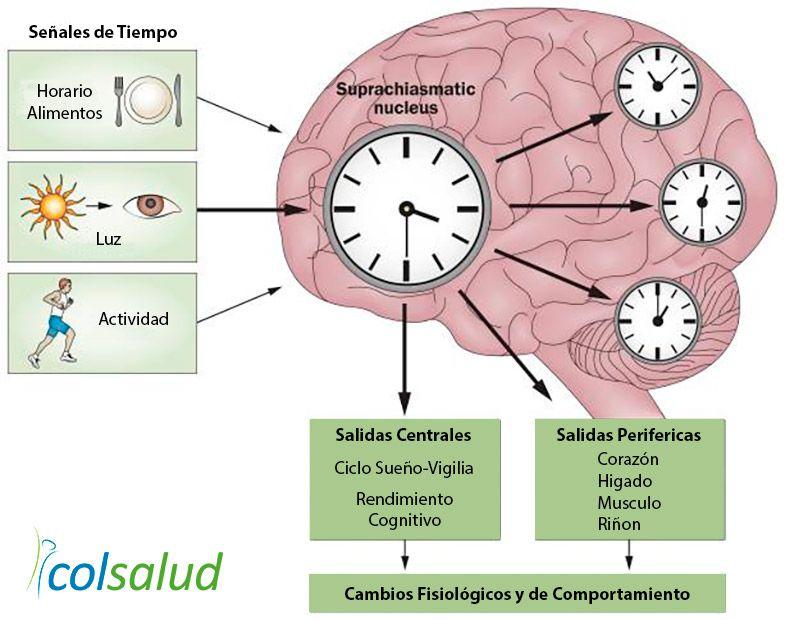 Cronobiologia del sueño